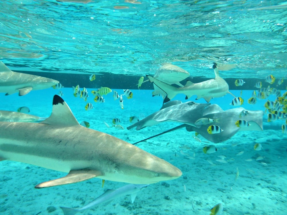 Sharks in Bora Bora Shark and Ray Snorkel Safari