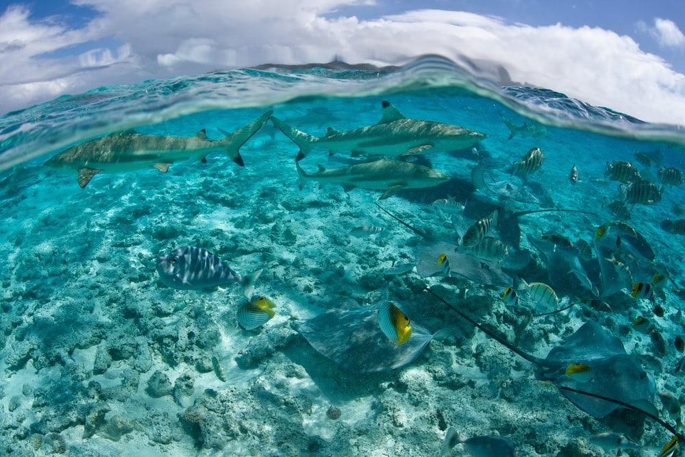 Sharks in Bora Bora Bora Bora shark and ray tours