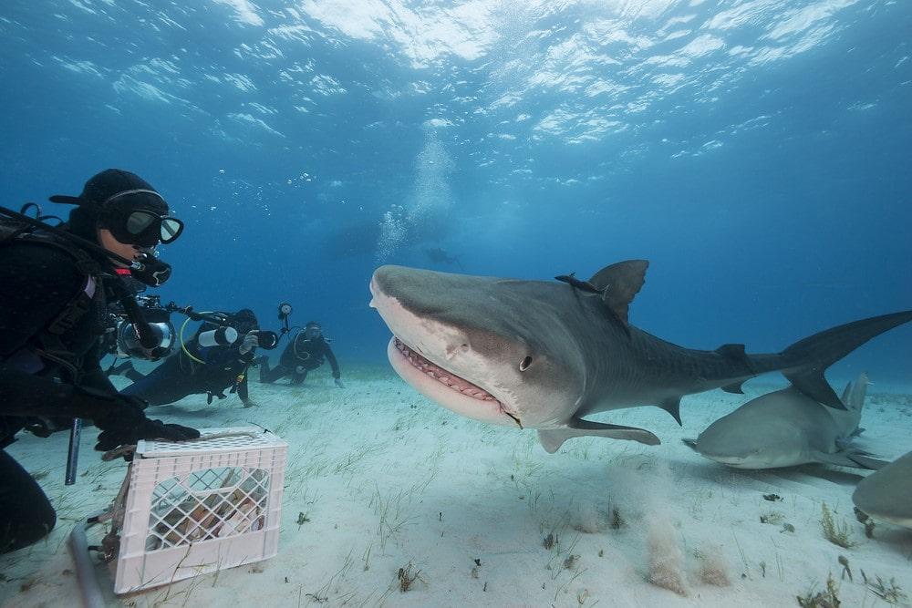 Sharks in Bora Bora Shark feeding