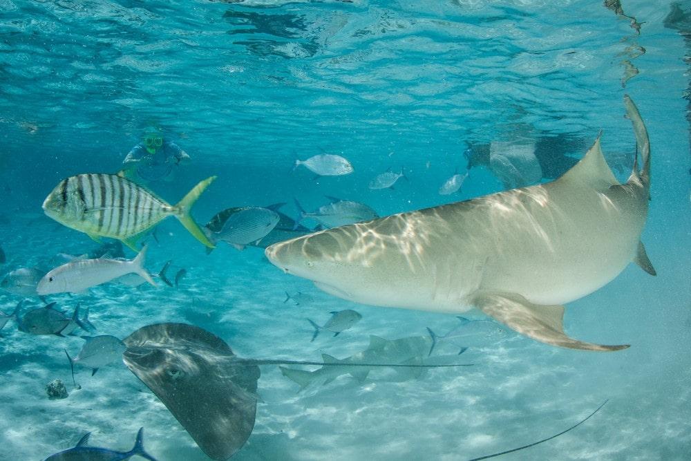 Sharks in Bora Bora Sharks in Bora Bora lagoon