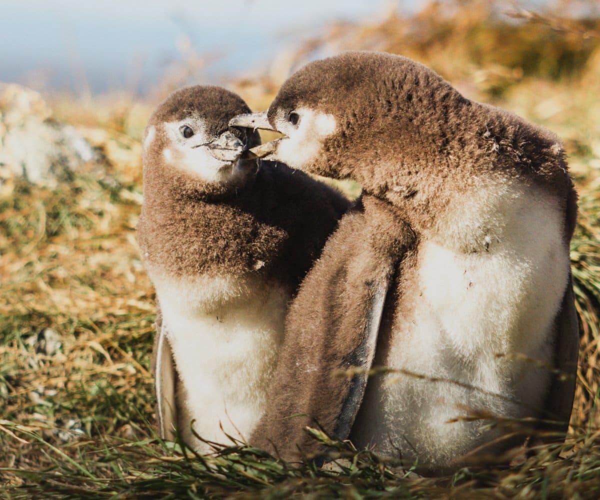 Fluffly penguin chicks