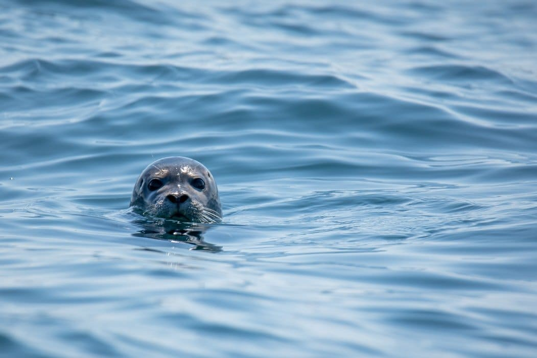 Seal in the Water