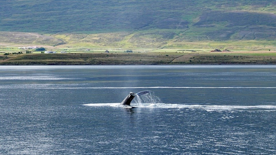 Humpback Whale in the Water - Best time to visit Maine