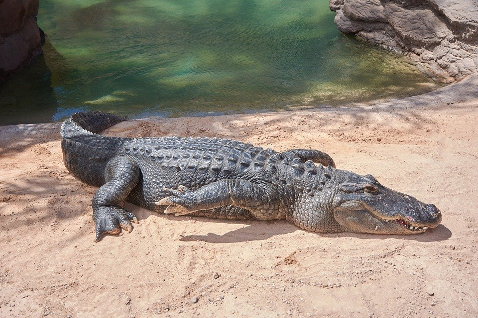Image of a crocodile